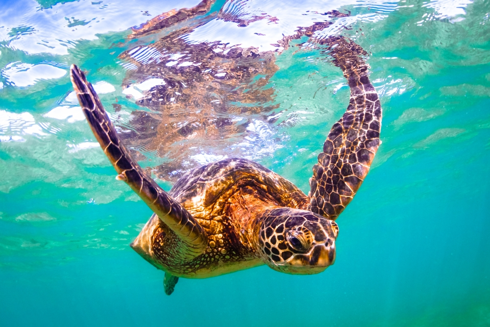 bigstock-Hawaiian-Green-Sea-Turtle-112235696