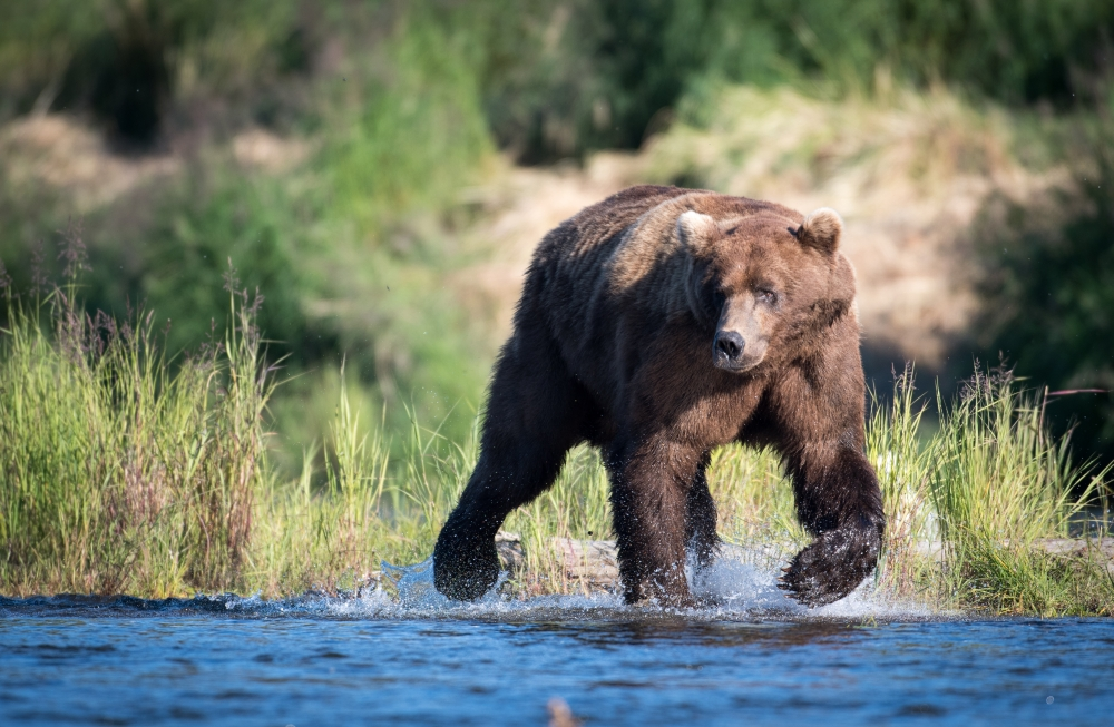 bigstock-Large-Alaskan-Brown-Bear-150514223